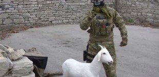 "Secret Weapon To Destroy ISIS: The ""Improvised Exploding Goat"""