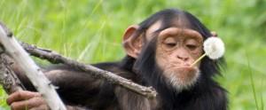 Dandelion Chimpanzee